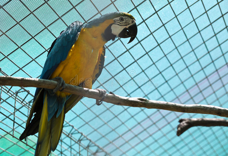 Blue and Yellow Macaw. The blue and yellow macaw Ara ararauna is a large South American parrot with blue top parts and yellow under parts royalty free stock photography