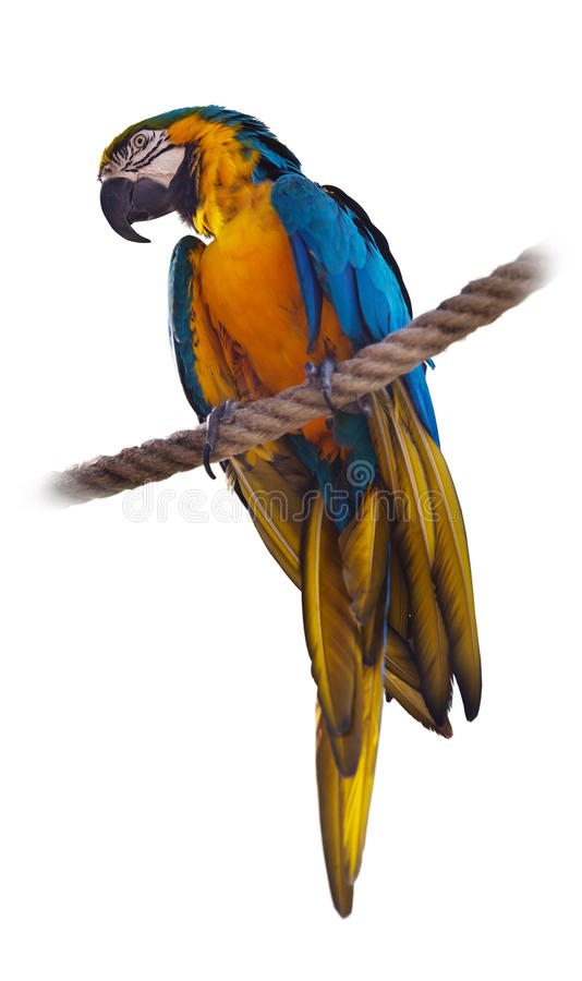 Blue and yellow Macaw. (Ara ararauna), over white royalty free stock photo