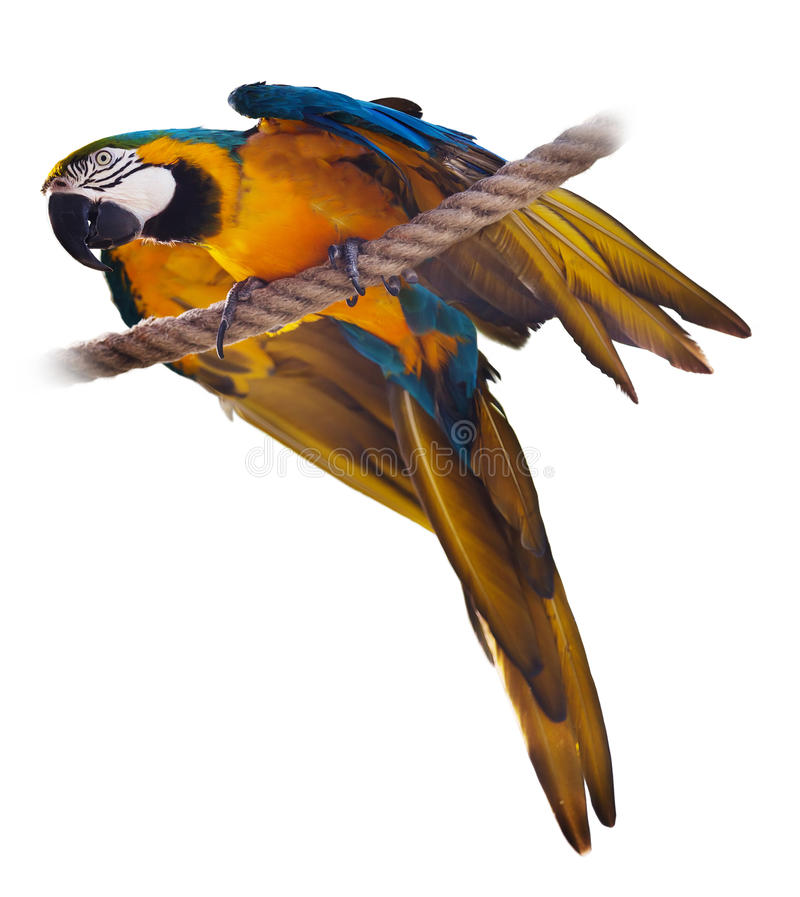 Blue and yellow Macaw. (Ara ararauna), over white background royalty free stock image