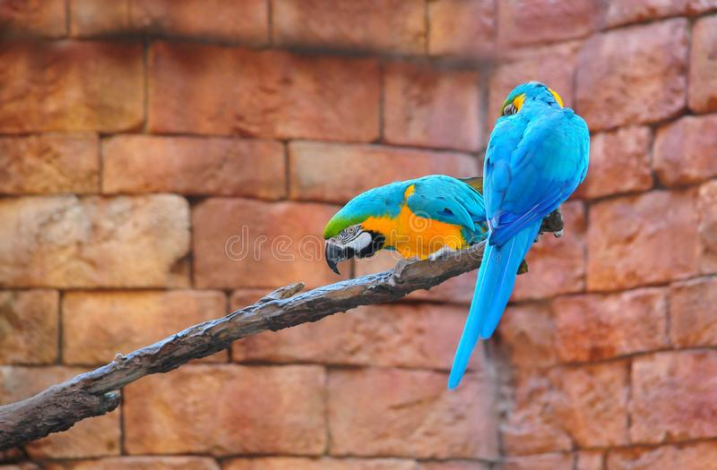 Blue-and-Yellow Macaw Ara ararauna. Pair of beautiful Blue-and-Yellow Macaw Ara ararauna perched on a branch stock photography