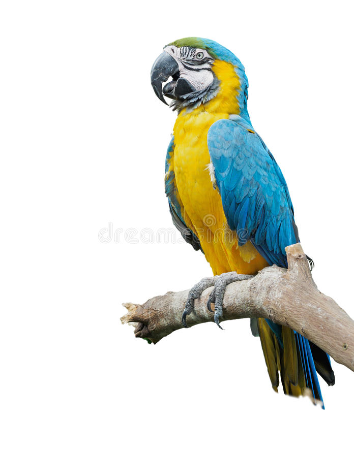 Blue-and-yellow macaw (Ara ararauna). Perched on the branch, isolated royalty free stock image