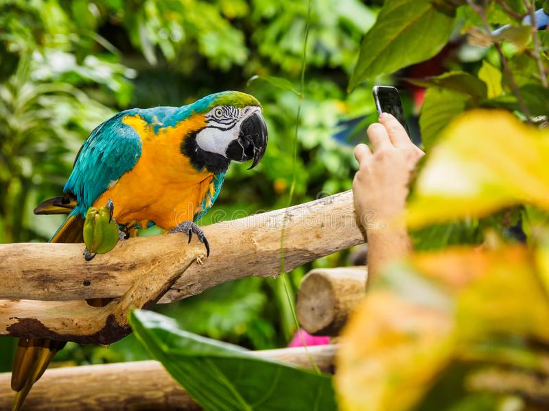 Blue-and-yellow Macaw - Ara Ararauna. Posing for a photographer with smartphone stock images