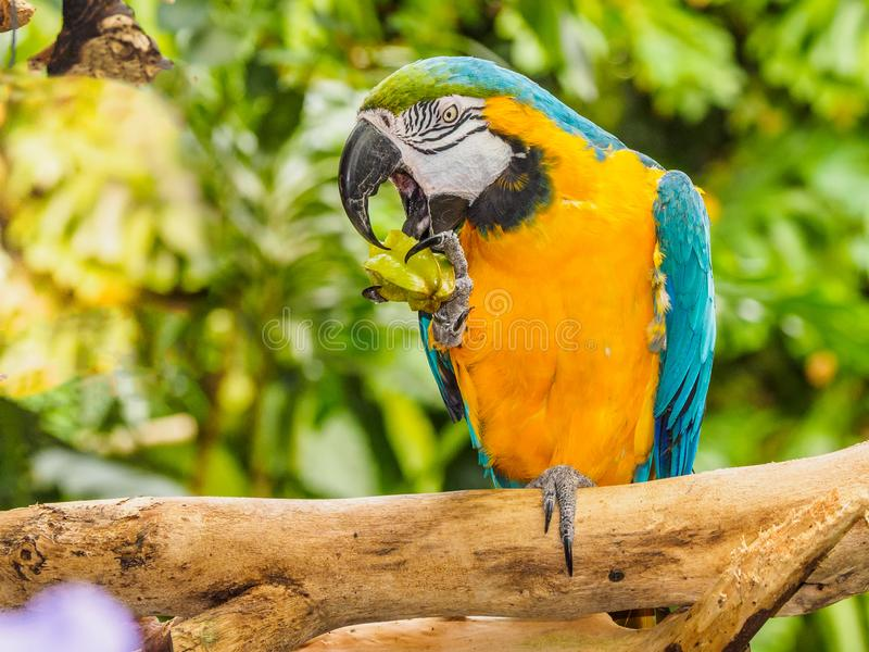 Blue-and-yellow Macaw - Ara Ararauna. With star fruit in claw stock images