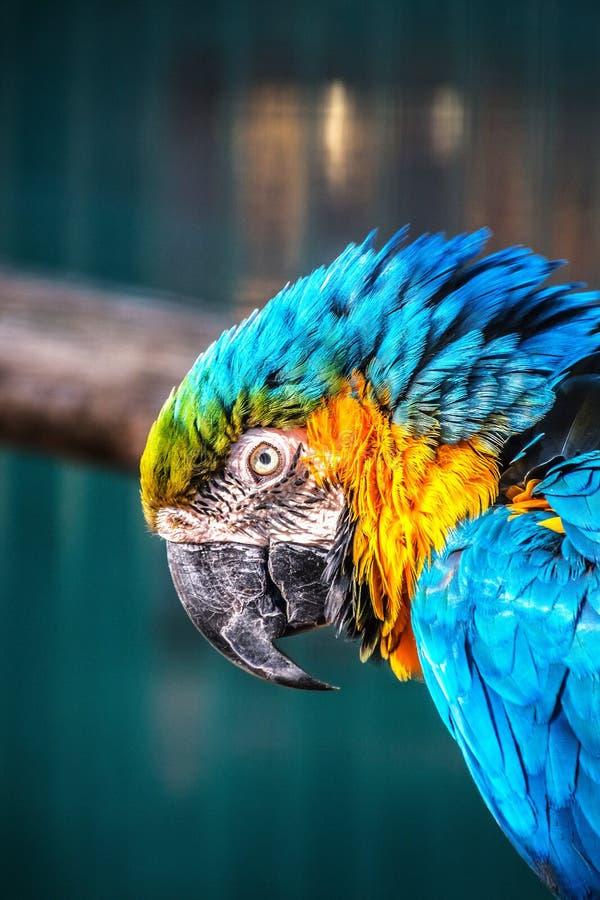 Blue-and-yellow macaw, ara ararauna. In the sun royalty free stock photos