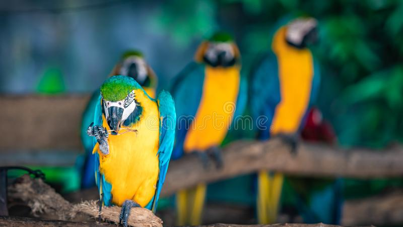 Blue-and-Yellow Macaw Wildlife Bird. The blue-and-yellow macaw Ara chloropterus, also known as the blue-winged macaw stock photos