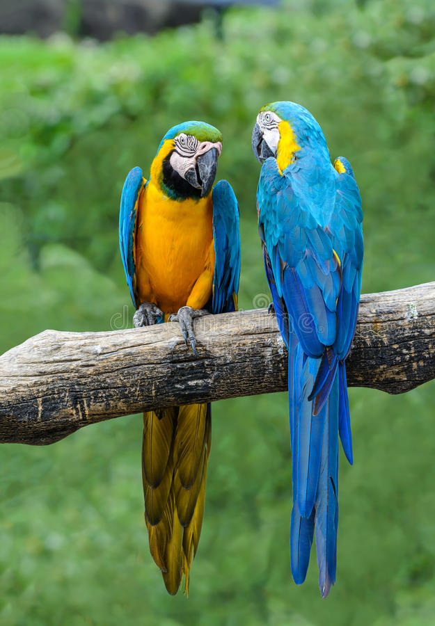 Blue and yellow macaw. Blue and yellow macaw, beautiful bird isolated on branch with green background stock images