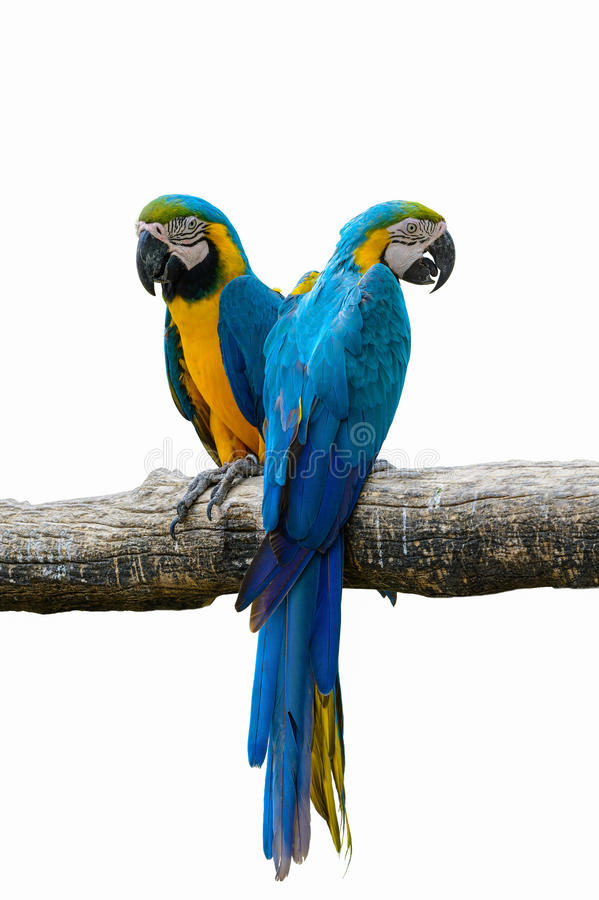 Blue and yellow macaw. Blue and yellow macaw, beautiful bird isolated on branch with white background stock photos