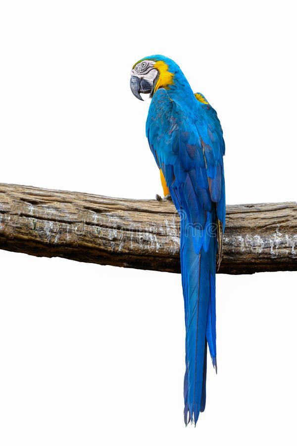 Blue and yellow macaw. Blue and yellow macaw, beautiful bird isolated on branch with white background stock photo