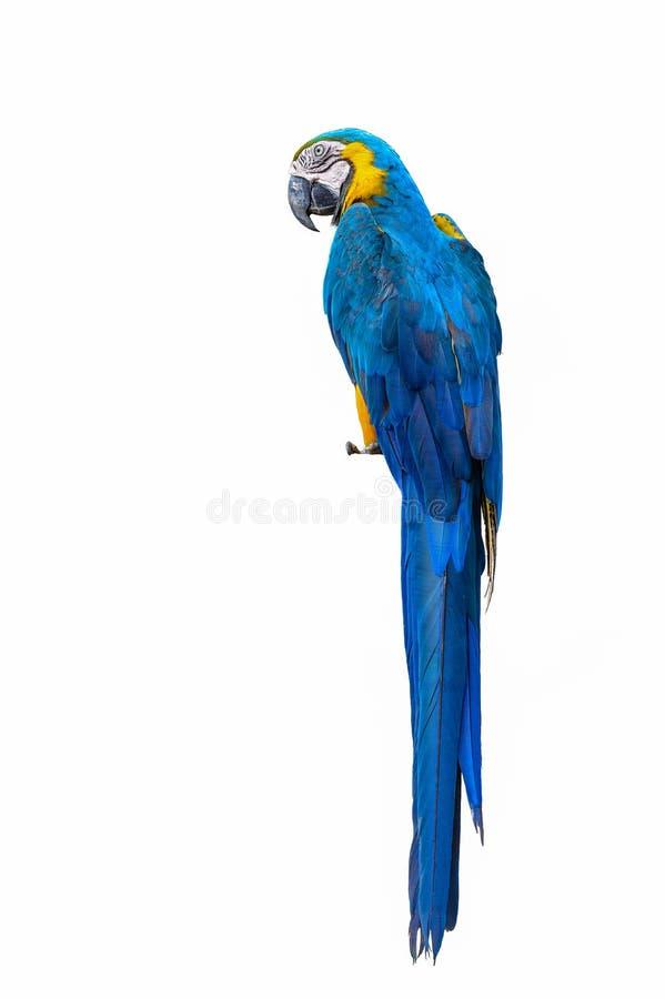 Blue and yellow macaw. Blue and yellow macaw, beautiful bird isolated with white background stock photo