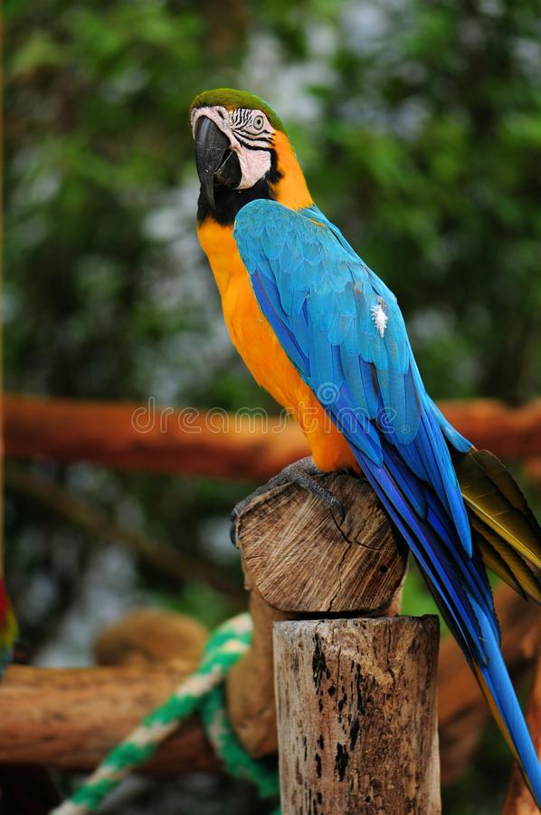 Blue-and-yellow macaw bird stock photography