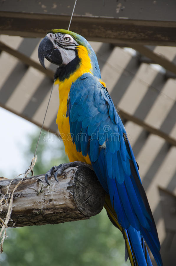 Blue and Yellow Macaw Bird. Blue and Yellow Macaw Parrot Bird at the Omaha Nebraska Zoo exibit of birds. This birds name is Cisco hatched in 2000 royalty free stock photography
