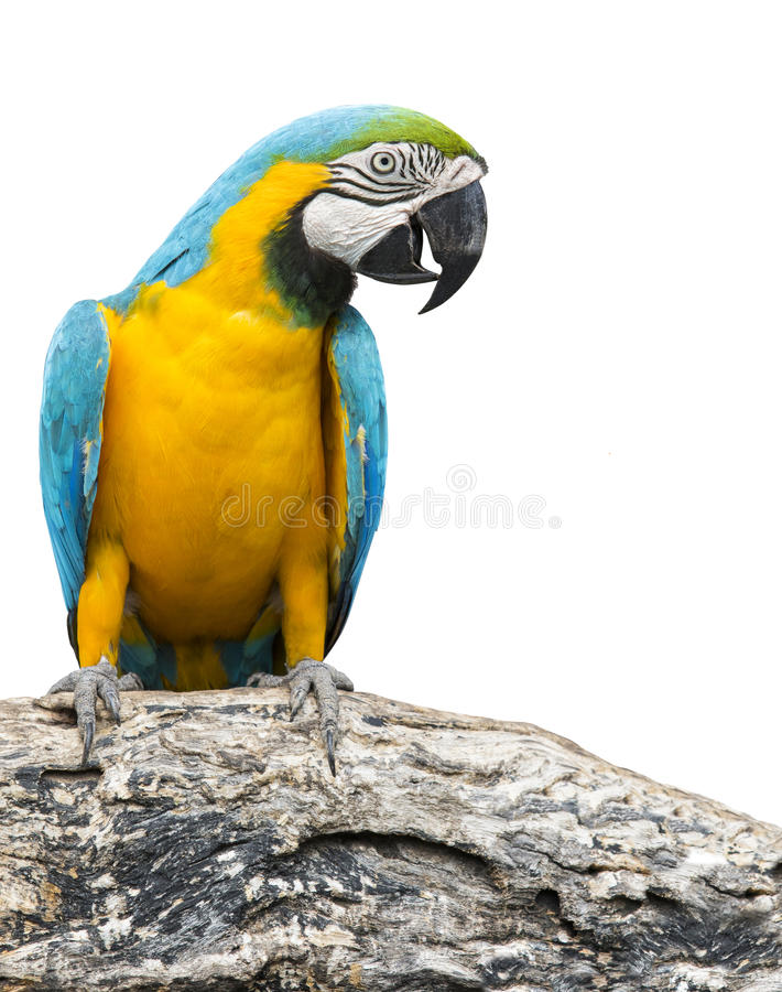 Blue and yellow macaw bird perching on tree branch isolate white royalty free stock photos