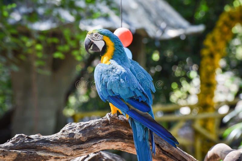 Macaw bird parrot. Blue and yellow macaw bird in the zoo macaw parrot ara ararauna royalty free stock photos