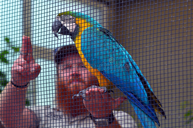 Blue-and-yellow macaw with a birds trainer stock photography