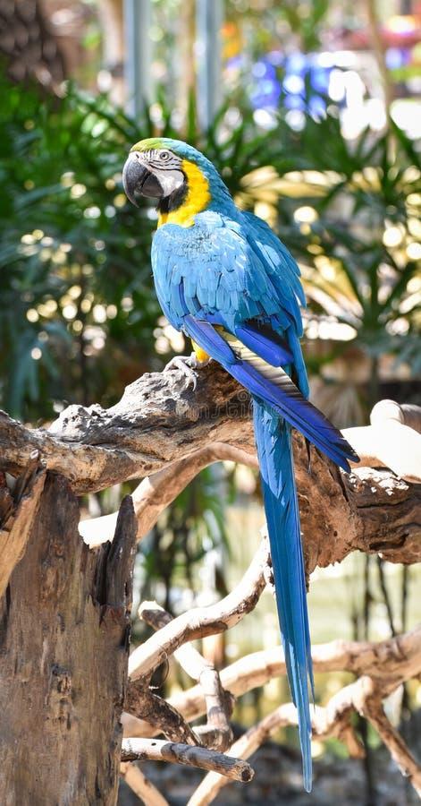 Beautiful Blue and yellow macaw birds parrot. Blue and yellow macaw birds in the zoo macaw parrot ara ararauna stock photo