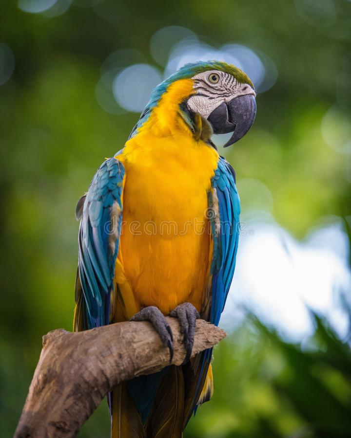 Blue and yellow macaw. On a branch stock photos