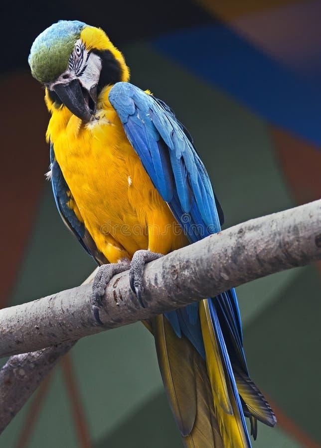 Blue and yellow macaw 3. Blue and yellow macaw. Latin name - Ara ararauna stock photography