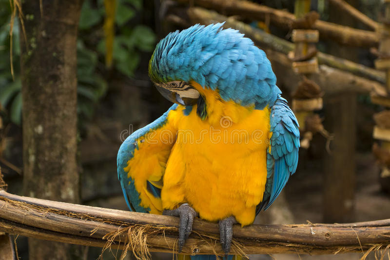 Blue and yellow macaw in a brazilian park. Endangered blue and yellow macaw in a brazilian preservation park stock photos
