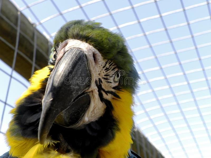 Blue and yellow Macaw in captivity. A close-up view of a Blue and yellow Macaw in captivity royalty free stock image