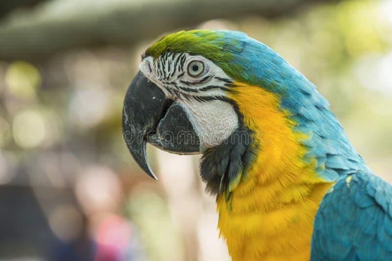 Blue and yellow macaw. Blue and yellow macaw close up stock photo