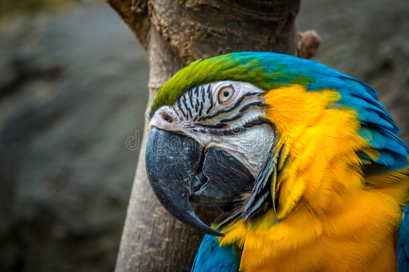 Blue and Yellow Macaw. Close up of a blue and yellow macaw with Bokeh background stock photos