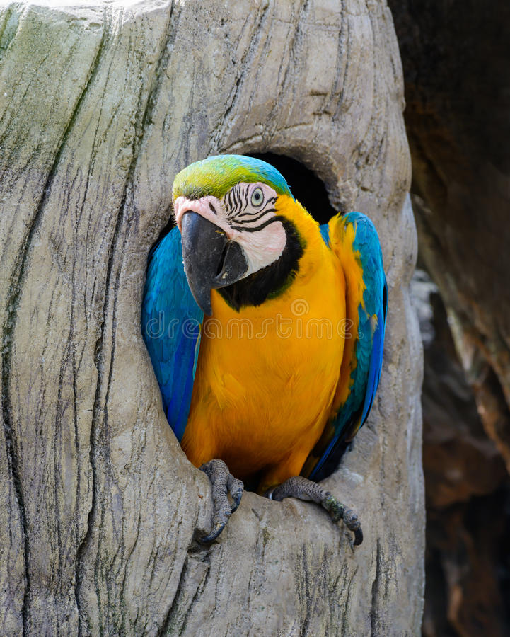 Blue and yellow macaw. Blue and yellow macaw, colorful bird in hollow of a tree stock photo