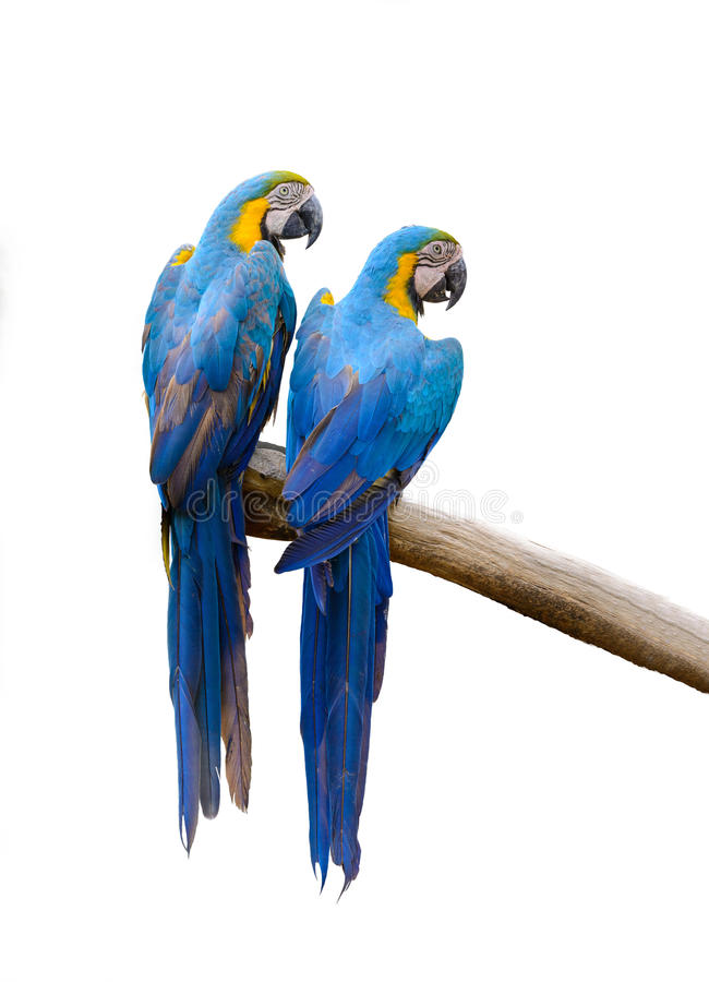 Blue and yellow macaw. Blue and yellow macaw, colorful bird isolated on branch with white background stock image