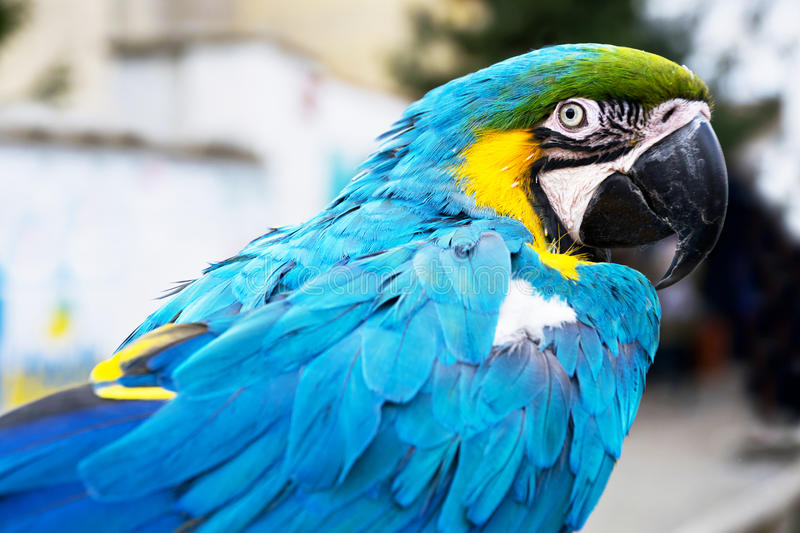 Blue-and-yellow macaw. Detail of Blue-and-yellow macaw in the zoo royalty free stock photo