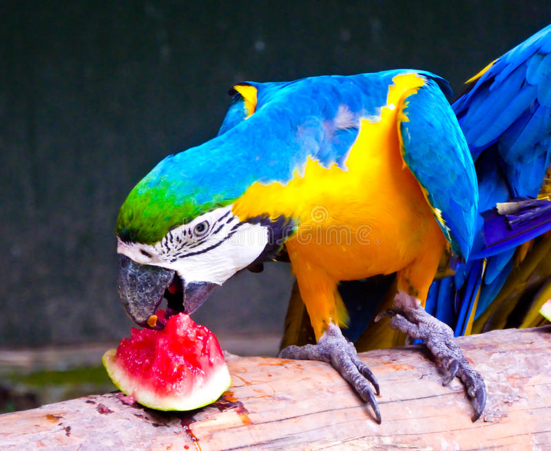 A Blue-and-Yellow Macaw eating watermelon stock photography