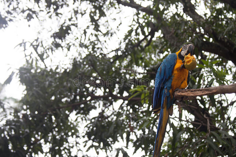Blue and Yellow Macaw eating. Blue and Yellow Macaw in the wild stock image