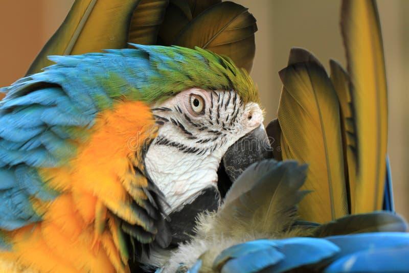 Blue & Yellow Macaw. Exotic Bird, Bird Species stock images