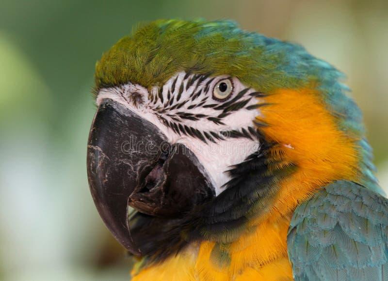 Blue & Yellow Macaw. Exotic Bird, Bird Species royalty free stock photos