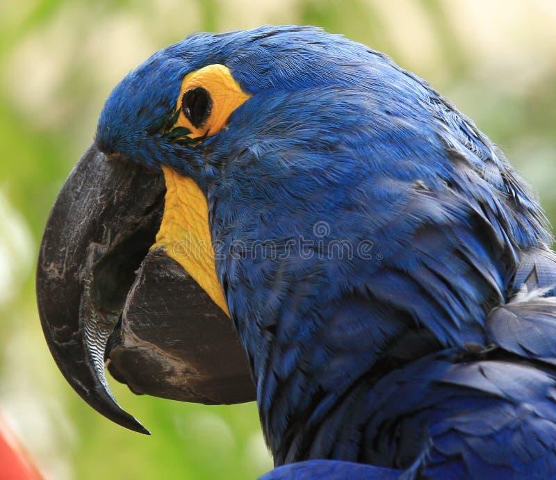 Blue & Yellow Macaw. Exotic Bird, Bird Species stock photography