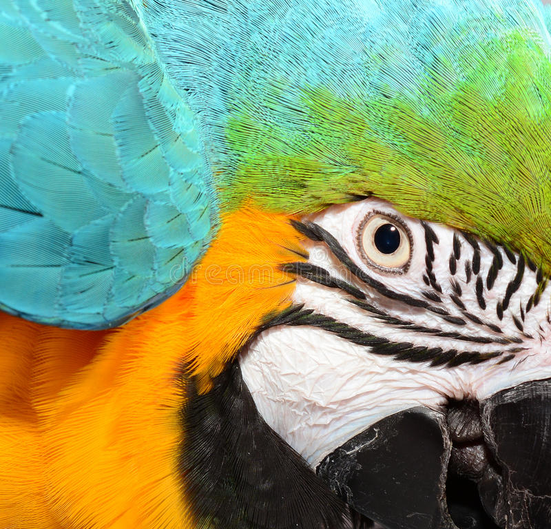 Blue and Yellow Macaw Face royalty free stock photo