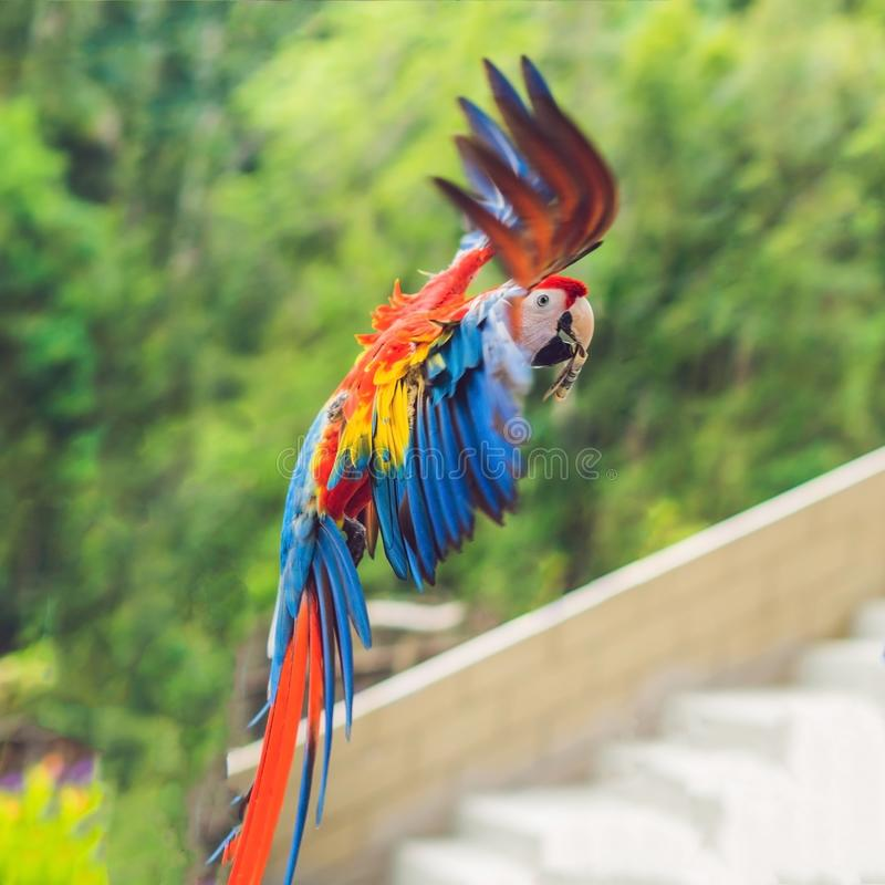 Blue and yellow Macaw in flight against the background of trees royalty free stock photography