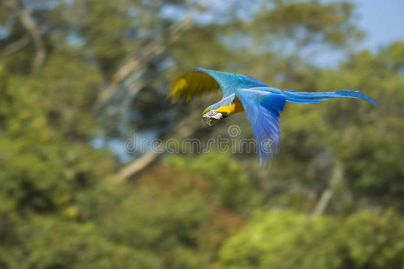 Blue and yellow macaw in flight. Blue and yellow macaw Ara ararauna in flight, Brazil royalty free stock images