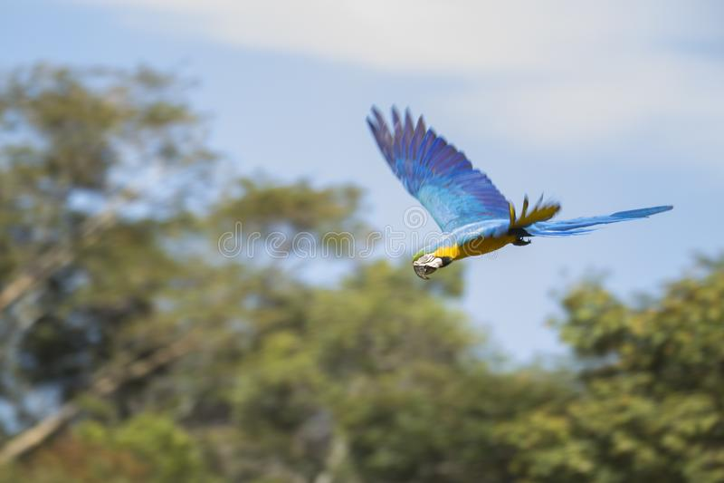 Blue and yellow macaw in flight. Blue and yellow macaw Ara ararauna in flight, Brazil stock photo