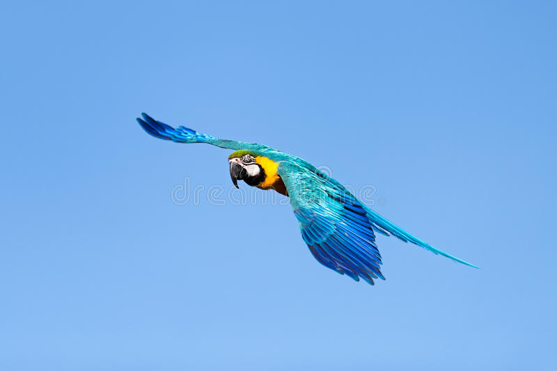 Blue And Yellow Macaw In Flight. A detailed and colourful image of a blue and yellow macaw turning in flight against a background of pure blue sky stock images
