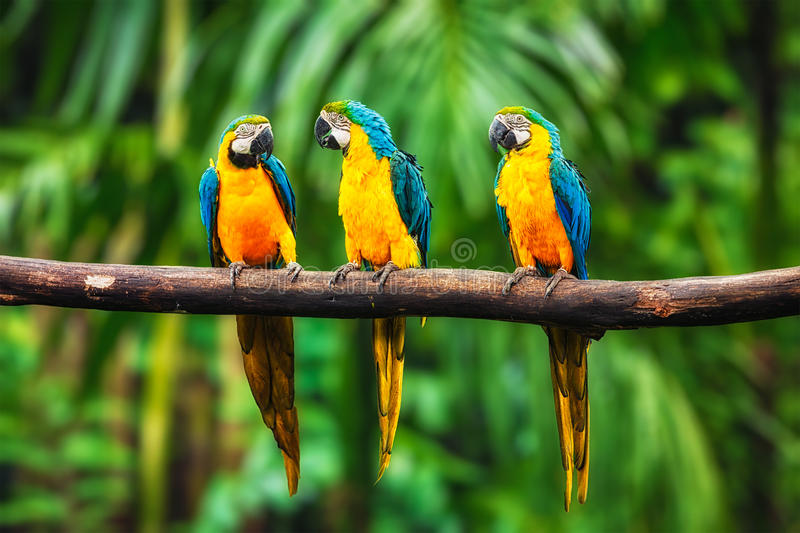 Blue-and-Yellow Macaw in forest. Blue-and-Yellow Macaw (Ara ararauna), also known as the Blue-and-Gold Macaw royalty free stock photo