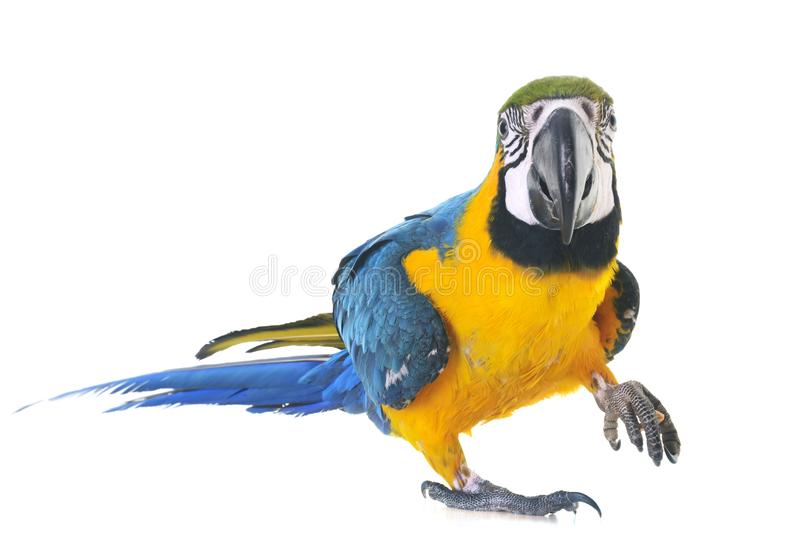 Blue-and-yellow macaw in studio. Blue-and-yellow macaw in front of white background stock photos