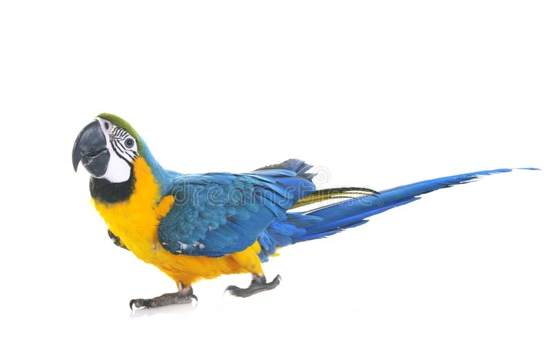 Blue-and-yellow macaw in studio. Blue-and-yellow macaw in front of white background royalty free stock image