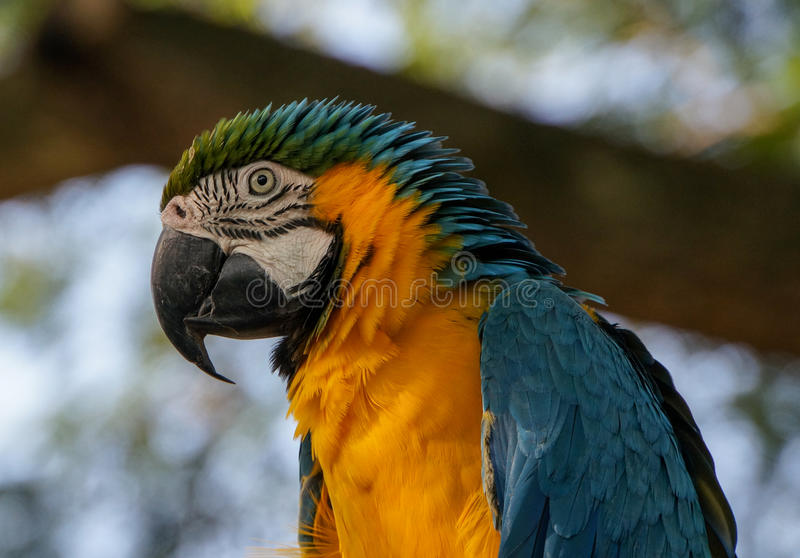 Blue-and-yellow Macaw in Guadeloupe. Ara Bleu et Jaune - Blue-and-yellow Macaw, Jardin Botanique de Deshaies, Guadeloupe, France royalty free stock photos