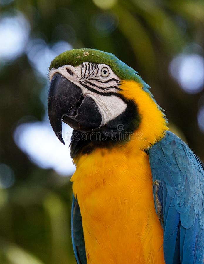 Blue-and-yellow Macaw in Guadeloupe. Ara Bleu et Jaune - Blue-and-yellow Macaw, Jardin Botanique de Deshaies, Guadeloupe, France stock images
