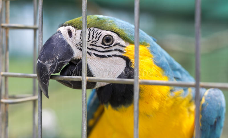 Blue and Yellow Macaw. Head of a blue and yellow macaw Ara ararauna, a large South American parrot with blue top parts and yellow under parts royalty free stock photography