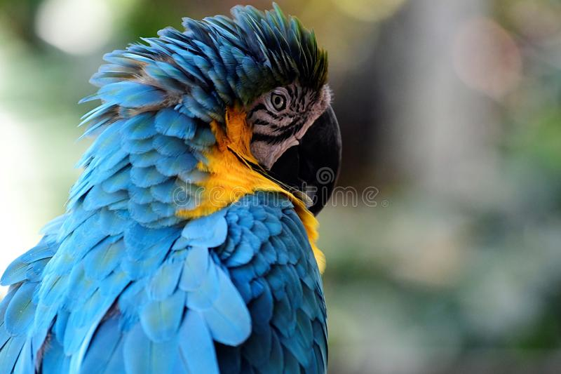 Blue and yellow Macaw. Head shot, tree and leaves in background. white on face with black rings stock images