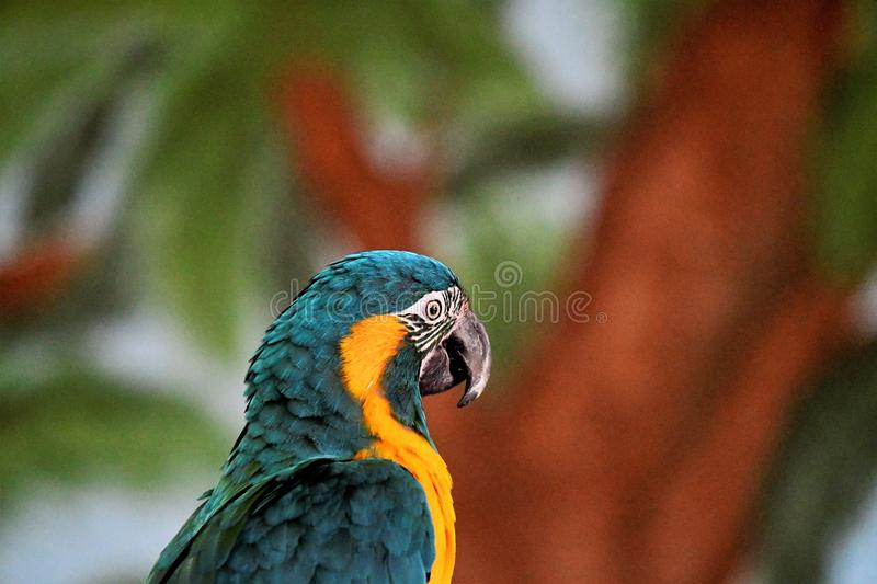 Blue and yellow Macaw. Head shot, tree and leaves mural in background. white on face with black rings stock photos