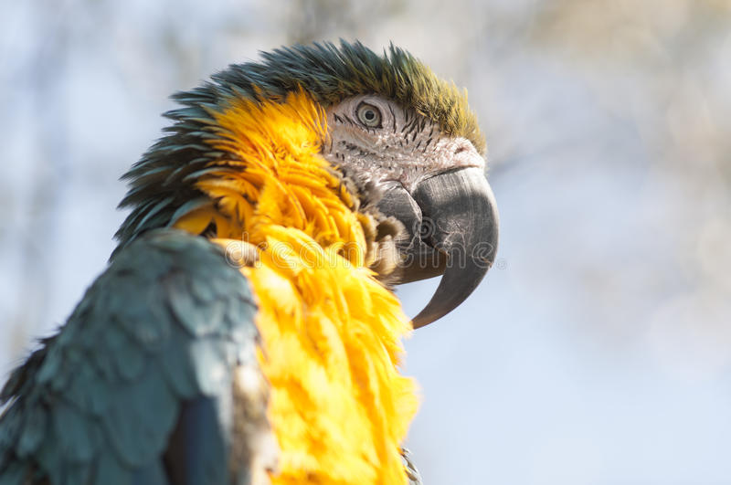 Blue-and-yellow macaw. A horizontal photographic image of the head of a blue-and-yellow macaw stock photo