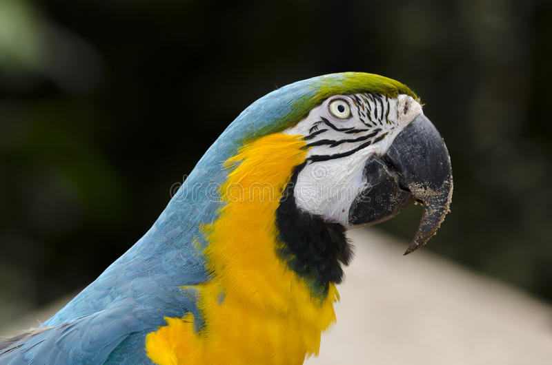 Blue and yellow macaw. Iguacu in Brazil royalty free stock images