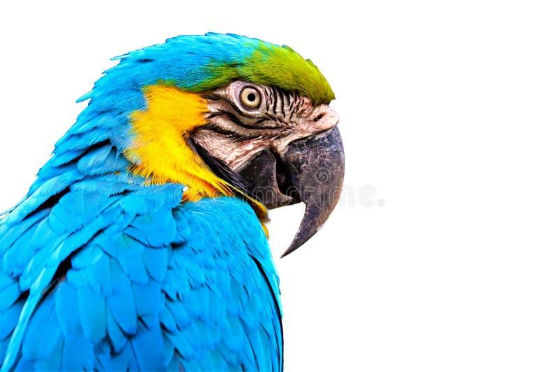 Macaw isolated on white background royalty free stock photos
