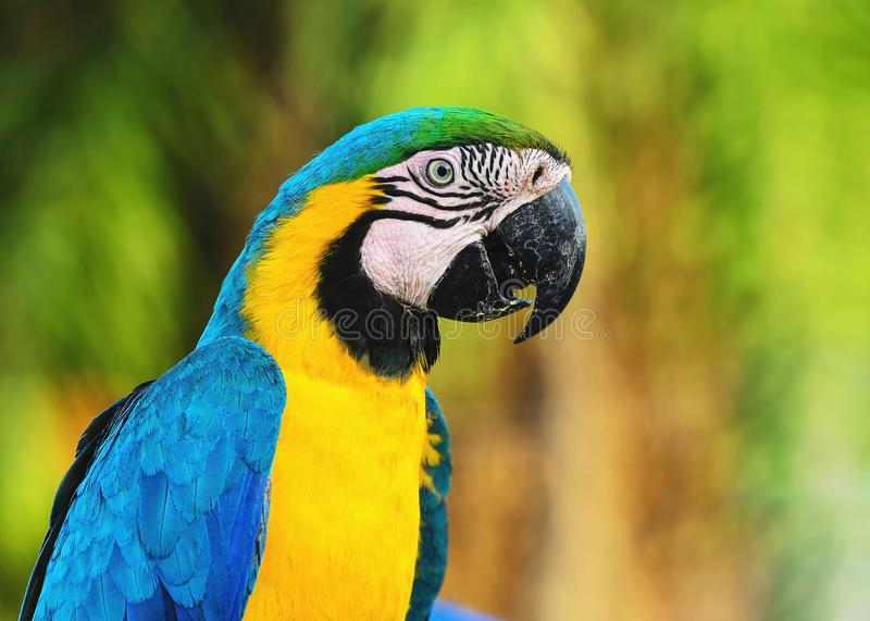 Blue-and-yellow macaw known as Arara-caninde in Brazil stock photos